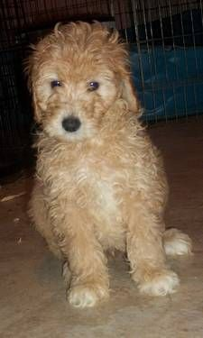 Goldendoodle Puppies F2 Generation Mini Sized Goldendoodle Puppy Goldendoodle Puppies