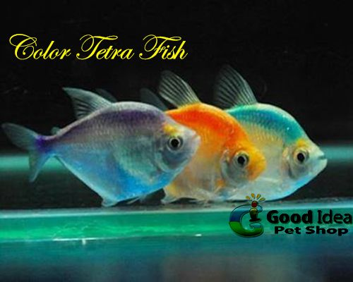 Color Tetra Fish Now Available We Ve Got Lots Of Popular Aquarium Fish Plus Lots Of Rare Fish And All Of Our Fish Are Premiu Tetra Fish Rare Fish Pet Shop
