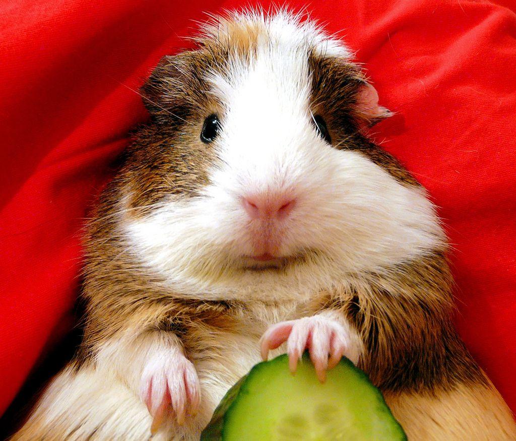 guinea pig eating list