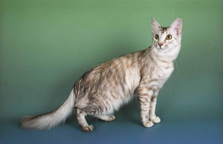 gato oriental de pelo largo Oriental longhair es