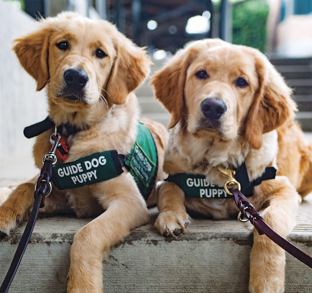 Raising A Guide Dog Puppy Dogs Puppies Guide Dog Dogs