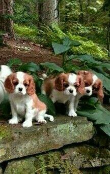 Curious Cavalier pups