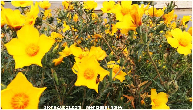 انواع نبات المنتزلية Mentzelia قوائم النبات قوائم النبات معلومات نباتية وسمكية معلوماتية Plants