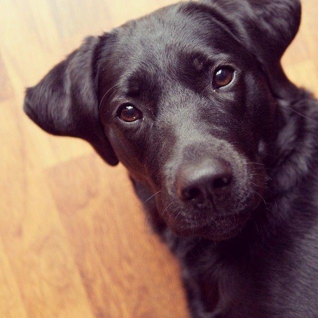 Good Morning Black Labrador Retriever Labrador Retriever Labrador Black Labrador Retriever