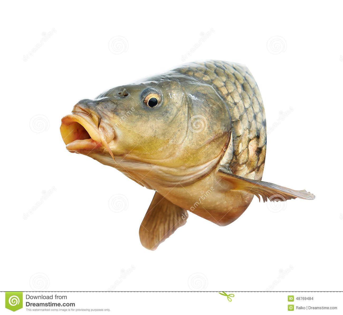 Carp Fish Mouth Open Head 48769484 Jpg 1300 1195 Fish Fish Art Carp