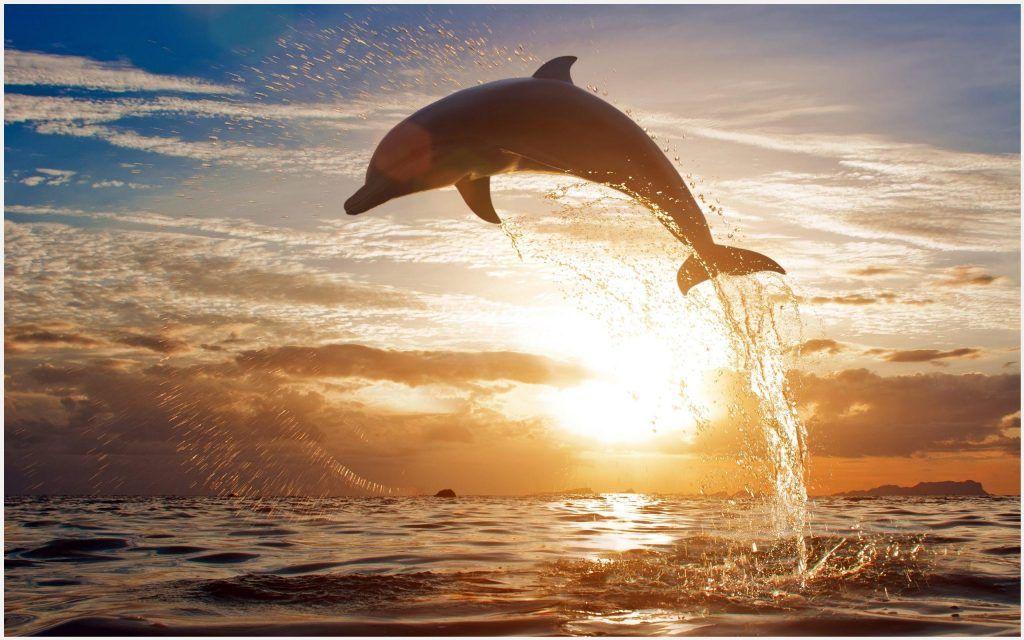 Dolphin Fish Water Splash Wallpaper Dolphin Fish Water Splash Wallpaper 1080p Dolphin Fish Water Splash Wallpaper Desktop Dolphins Animals Sunset Wallpaper