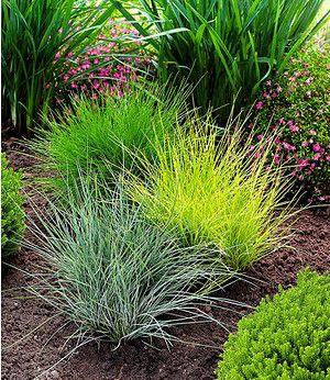 Winterharte Ziergräser chinaschilf chief 1 pflanze gräser pflanzen und gärten