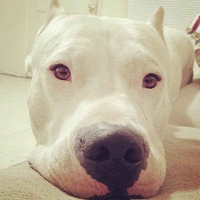 Dogo Argentino animal Pinterest Dog, Animal and Doggies