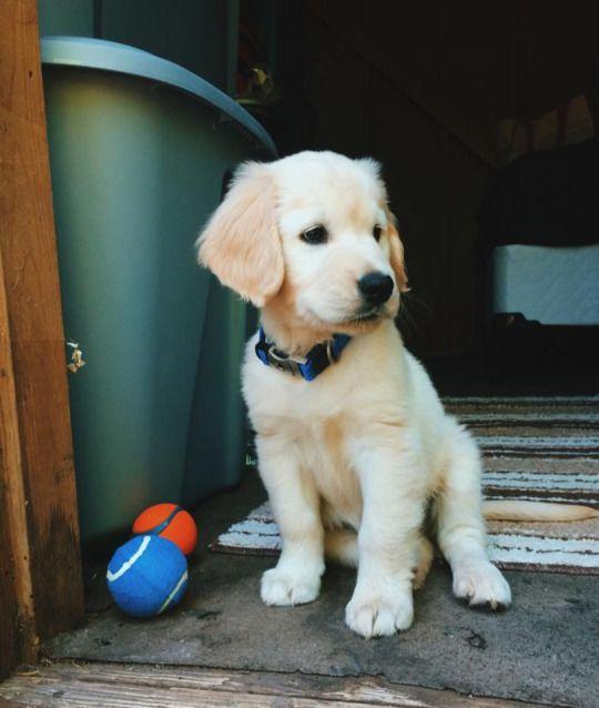 Golden Retriever Puppy Thor Golden Retriever Retriever Puppy