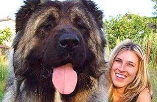 Perros Gigantes Perros Gigantes Perros Enormes El Perro Más Grande Del Mundo