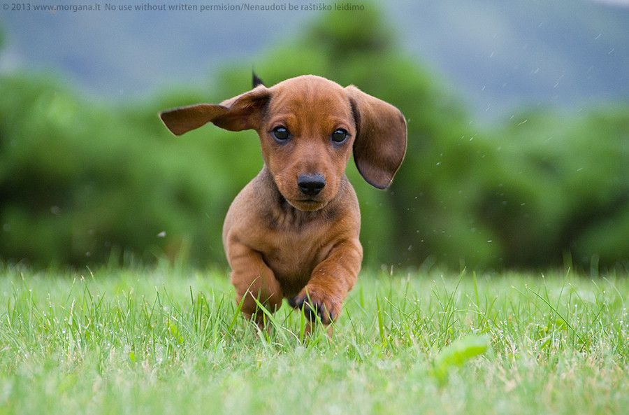 Dachshund Running Doxie Darlin Dogs Dog Stock Photo Easiest