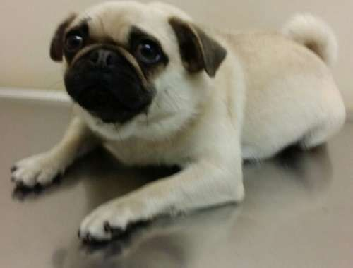 Female Pug For Sale Bindy Is An Adorable Pure Bred 1 Year Old