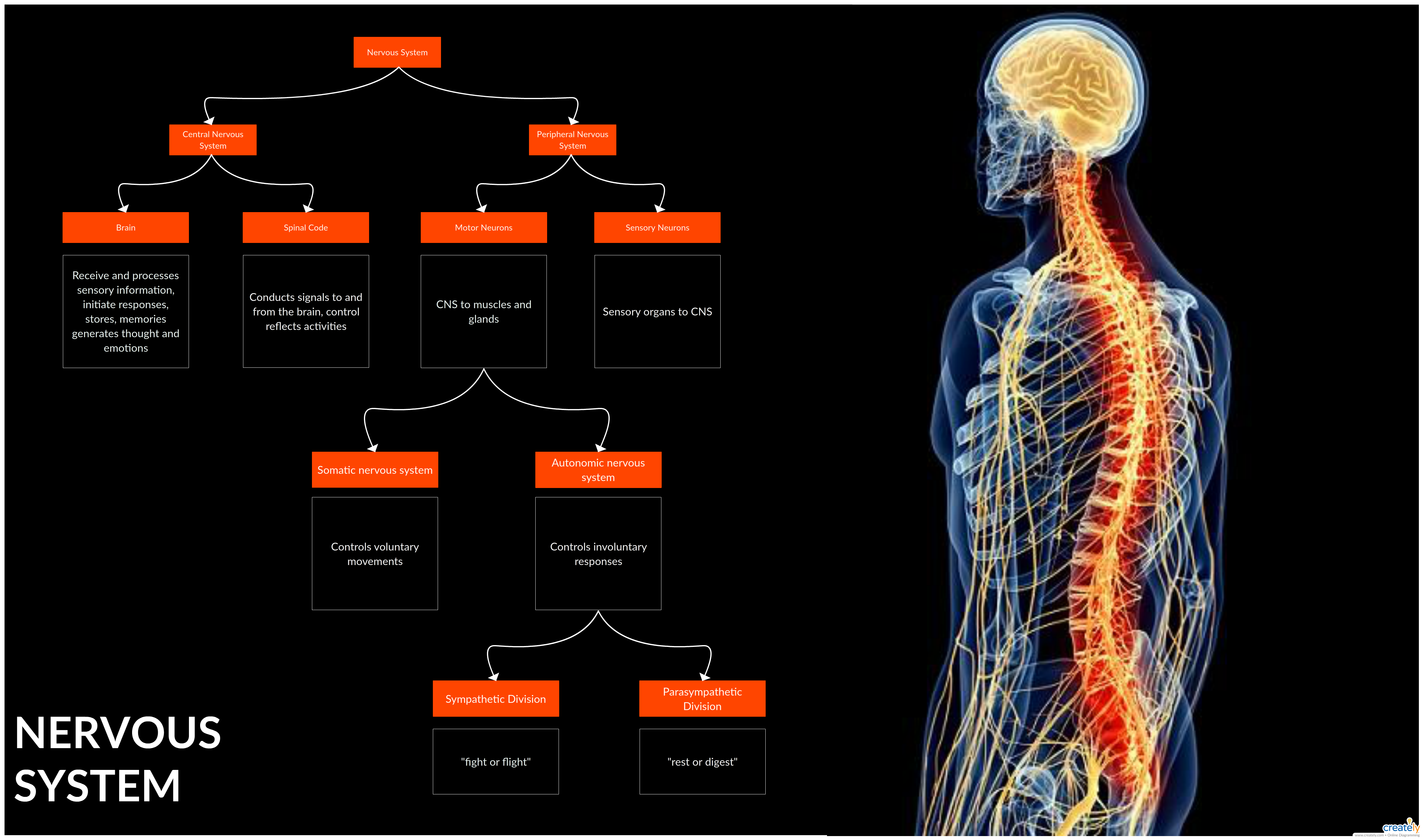 Flowchart Illustrating The Human Nervous System Learn How The Nerves And The Cells Carry Messages To And From The Brain With Nervous System Flow Chart Nervous
