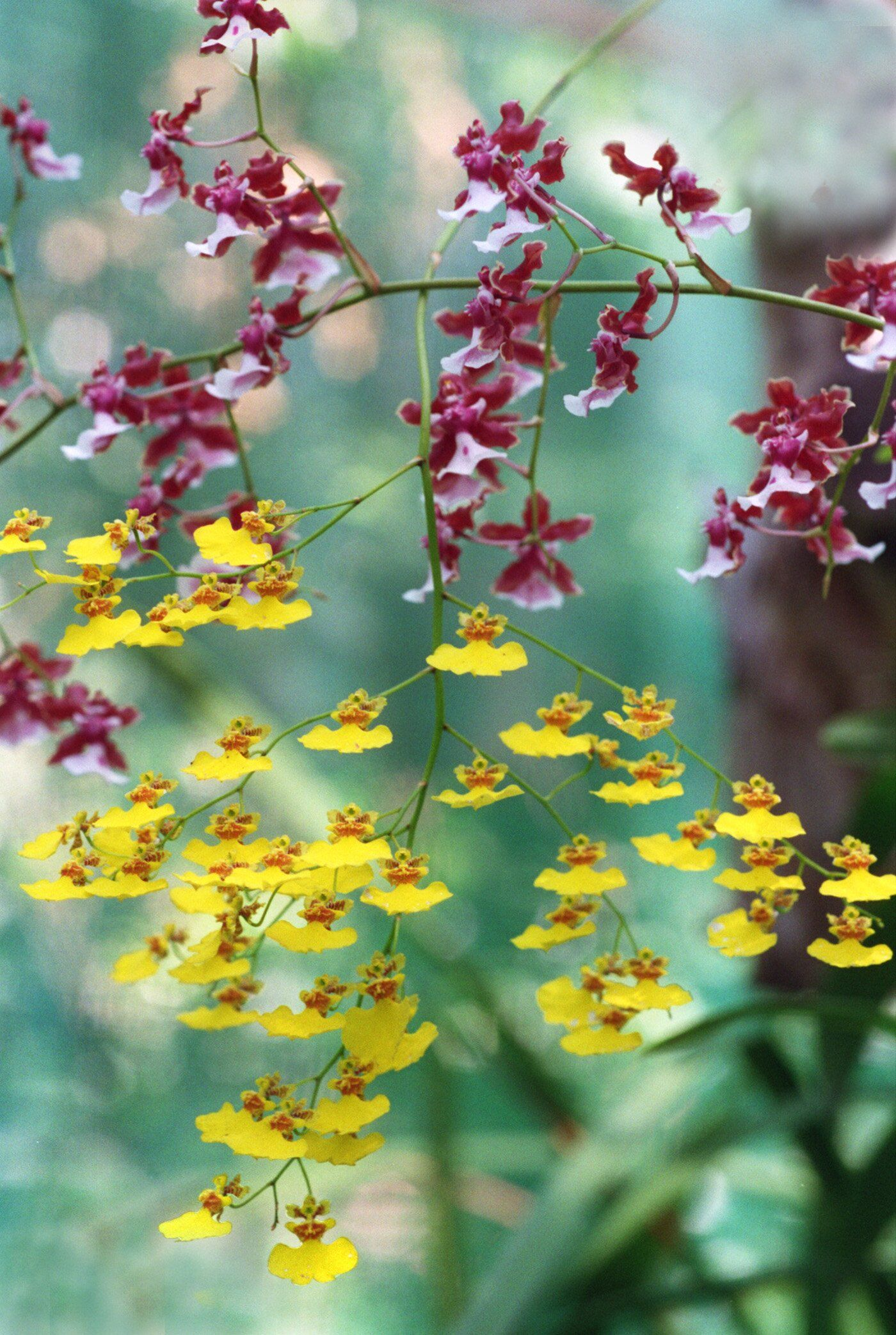 15 EasyCare Orchids Anyone Can Grow is part of Oncidium orchids, Orchids, Blooming orchid, Spring perennials, Types of orchids, Orchid plants - Despite their reputation for being difficult, many orchids can be easy to grow as houseplants  Without needing much care from you, these varieties can bloom every year, or even multiple times per year