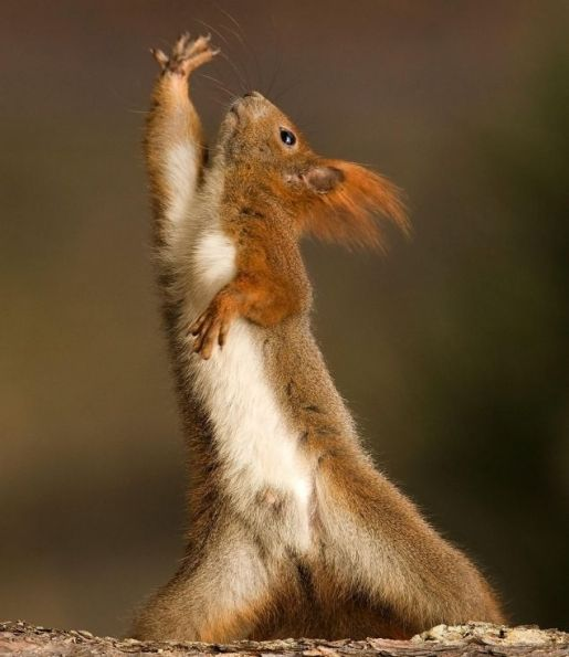 Disco appeals to some red squirrels...[Saturday Night Fever[ish ...