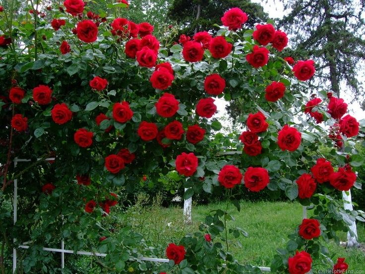 Pinterest Growing Roses Ideas Middle View Of Rosa Dublin Bay On White Fence The