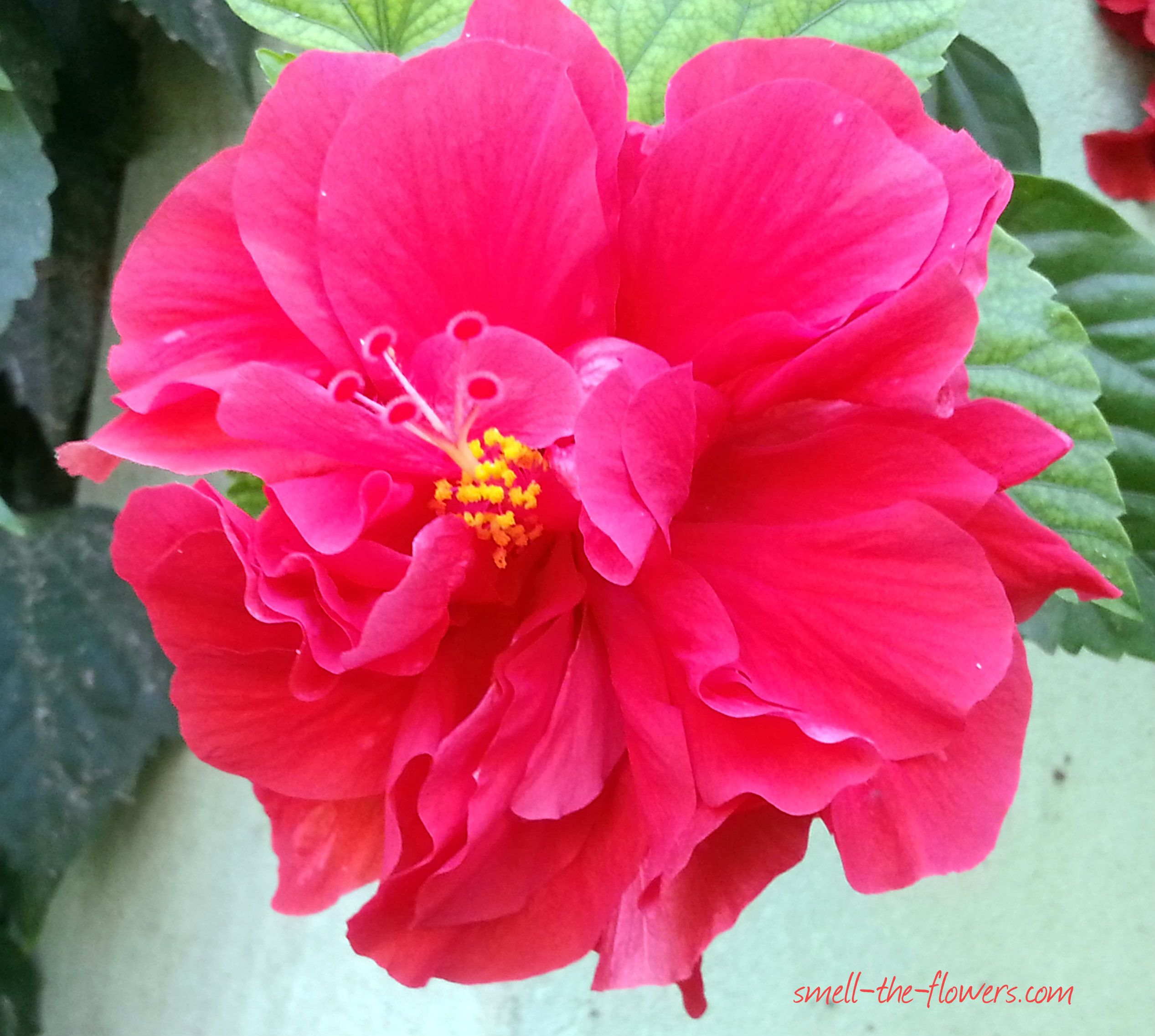 Hibiscus flowers smelltheflowersblog gardening in general hibiscus flowers smelltheflowersblog izmirmasajfo Image collections