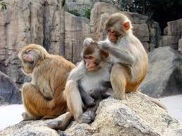 هل تحلق القرود لافراد القطيع؟؟