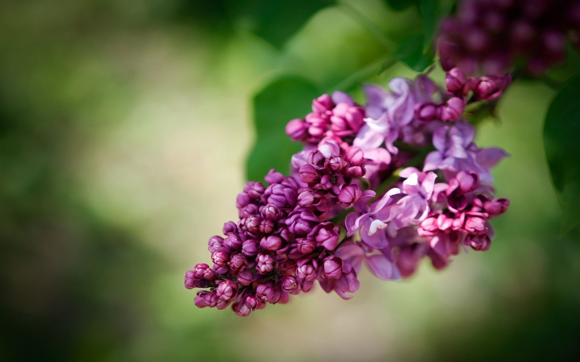 Lilac Flower Buscar Con Google Lilac Plant Lilac Violet Flower