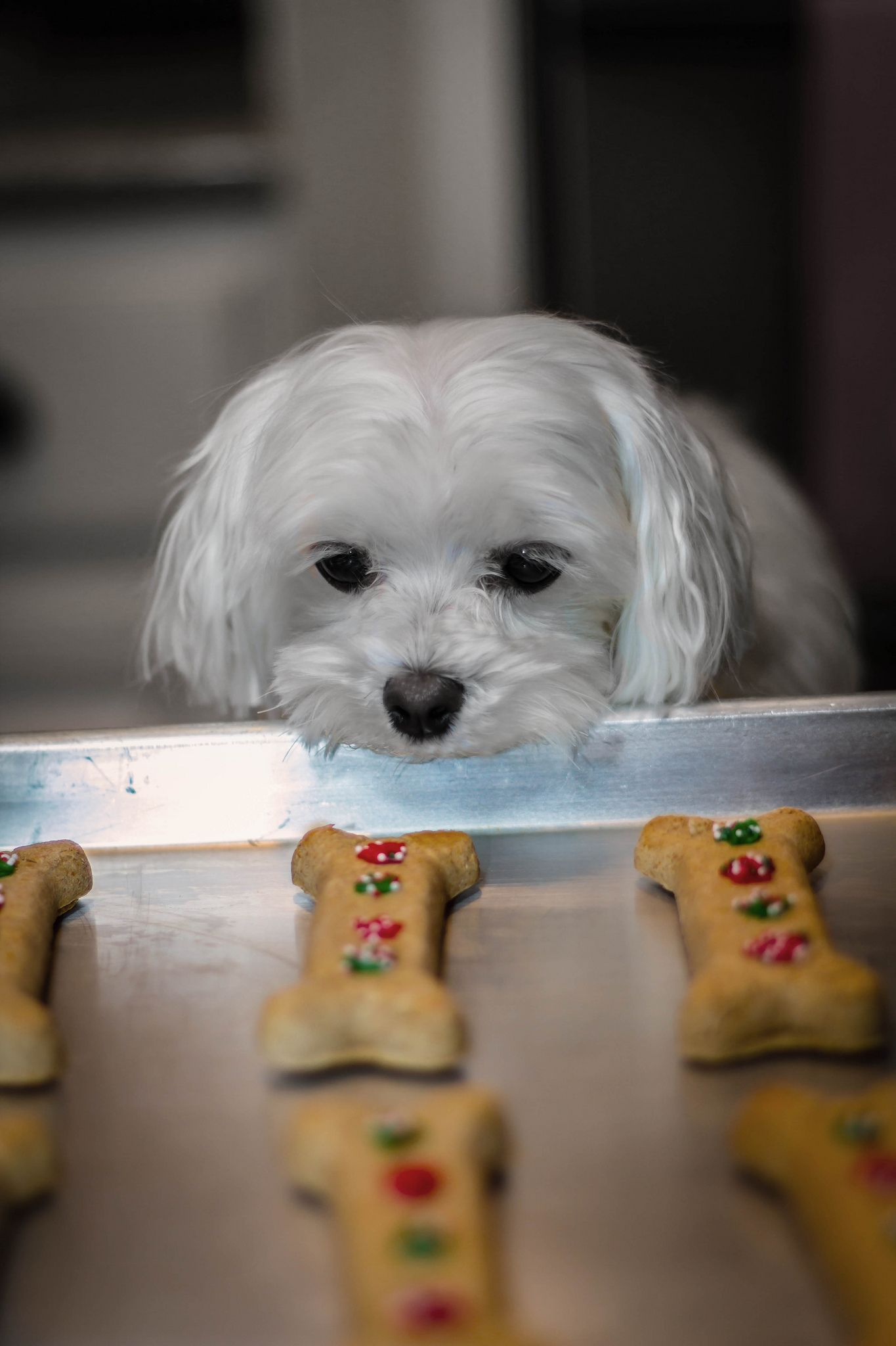 All I Want For Christmas Maltese Dogs Maltese Cute Dogs