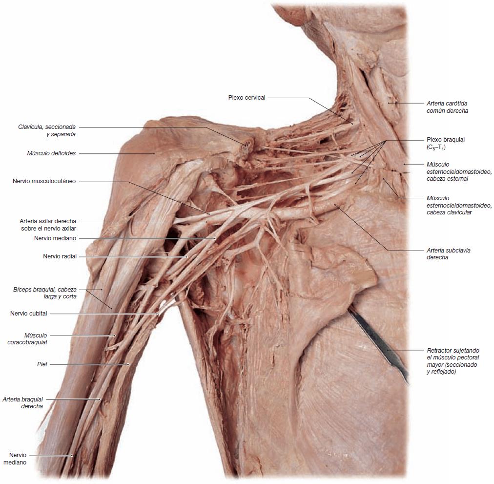 Atractivo Arteria Axilar Molde - Imágenes de Anatomía Humana ...