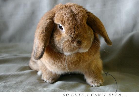 Holland lop bunny lapins pinterest lapin - Lapin malin gratuit ...