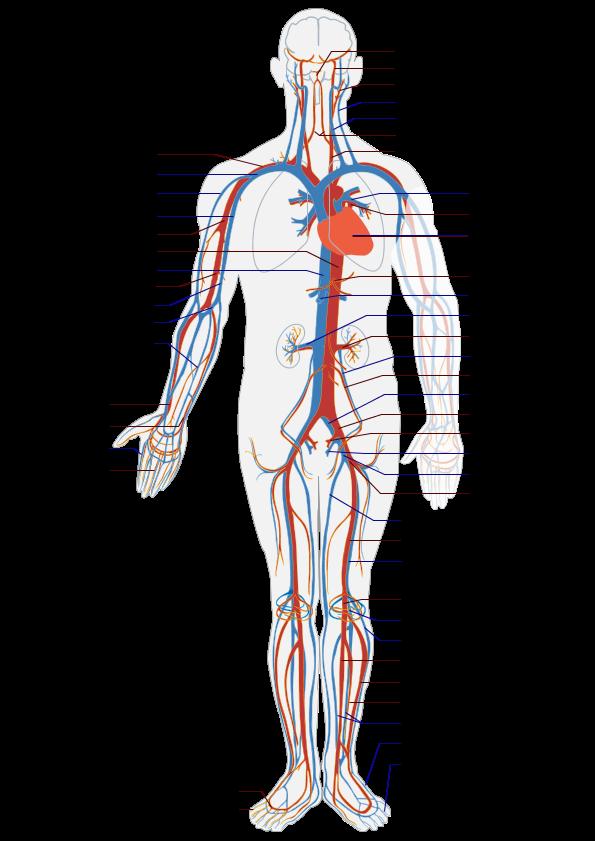Circulatory System Diagram - Health, Medicine and Anatomy Reference ...