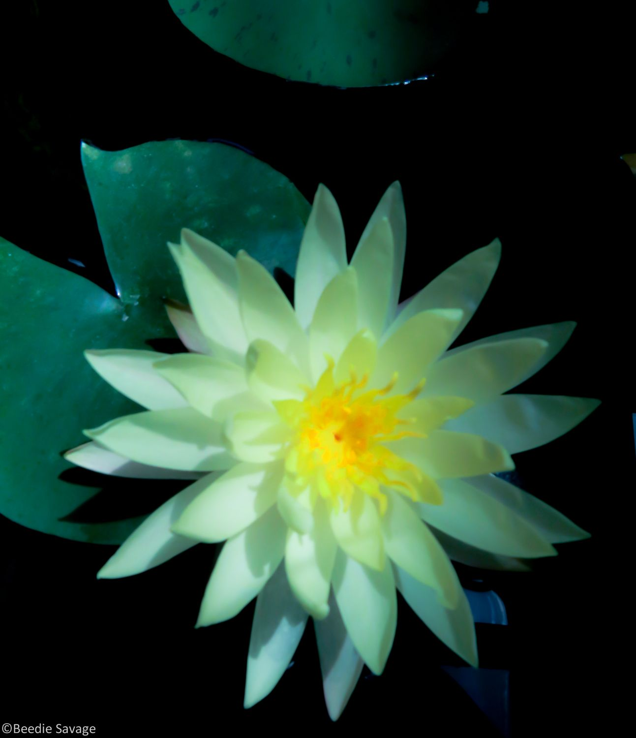 Lotus flower is blooming peace of mind mostly quilts lotus flower is blooming peace of mind mightylinksfo