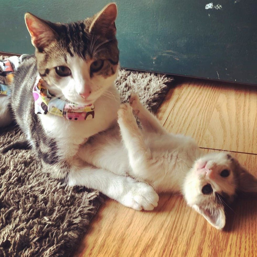 Kitten Who Lost Use of Back Legs, Now Moves Faster Than