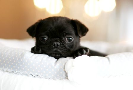 Teacup Pug, I want one of these little boogers! Precious ...