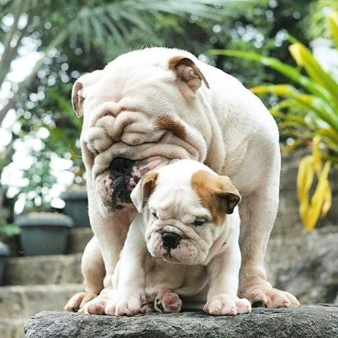Check The Link In Bulldogdays Profile And Choose Your Bulldog Or