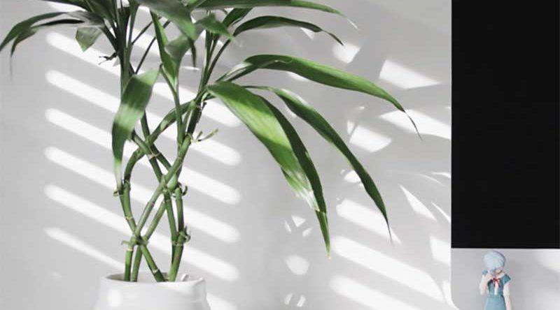 Bambu Da Sorte Como Cuidar Dicas E Ideias De Decoracao Em 2020