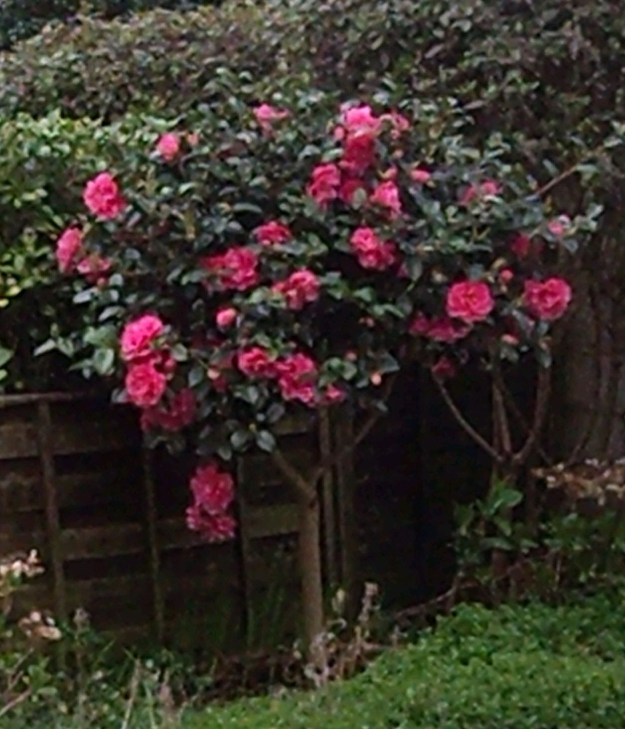 Camellia Tree Camellia Tree Shade Plants Trees To Plant