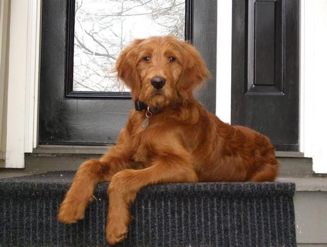 Golden Retriever Golden Doodle Parti Poodles For Sale Breeders