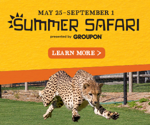Celebrate Summer At The San Diego Zoo Safari Park S Summer Safari San Diego Zoo Safari Park Safari Park San Diego Zoo