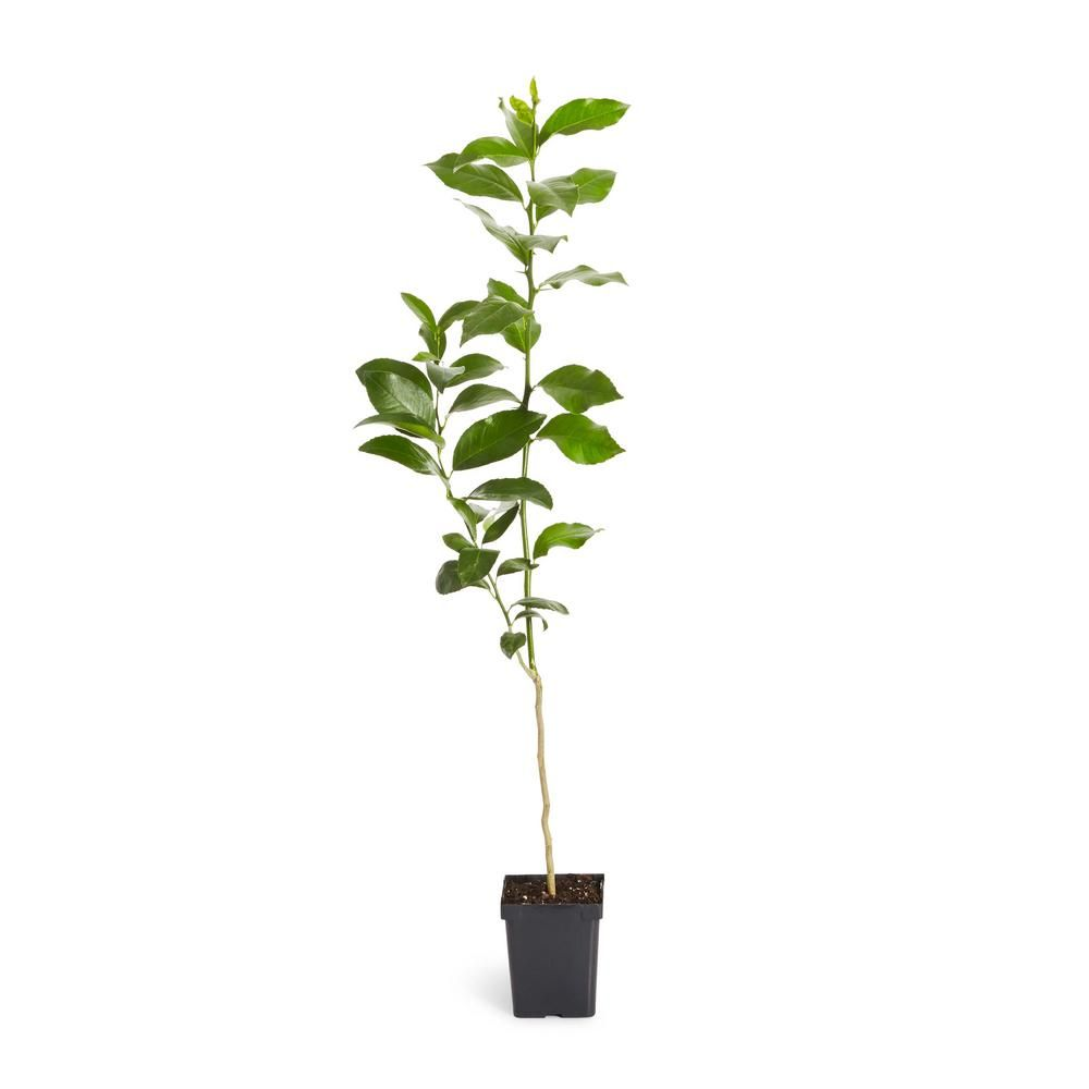 Brighter blooms 1 qt key lime tree in 2020 key lime