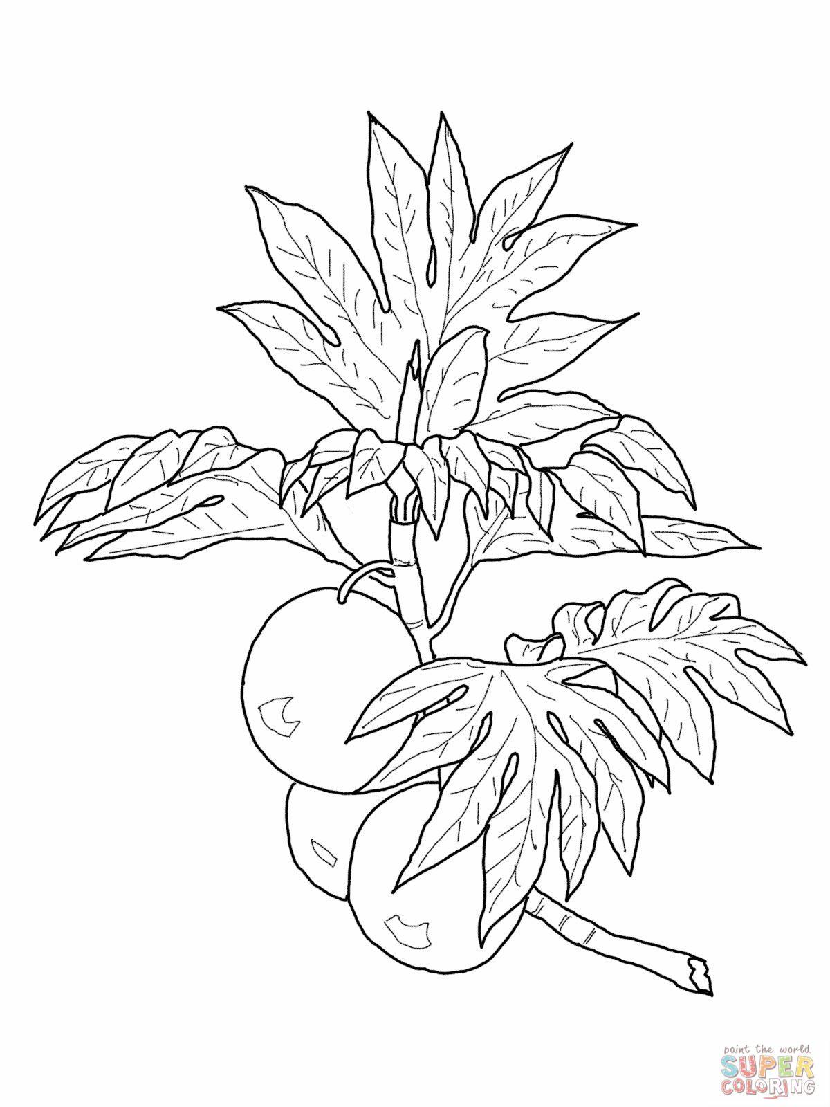Ulu Breadfruit