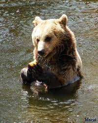 Bildresultat för björnar