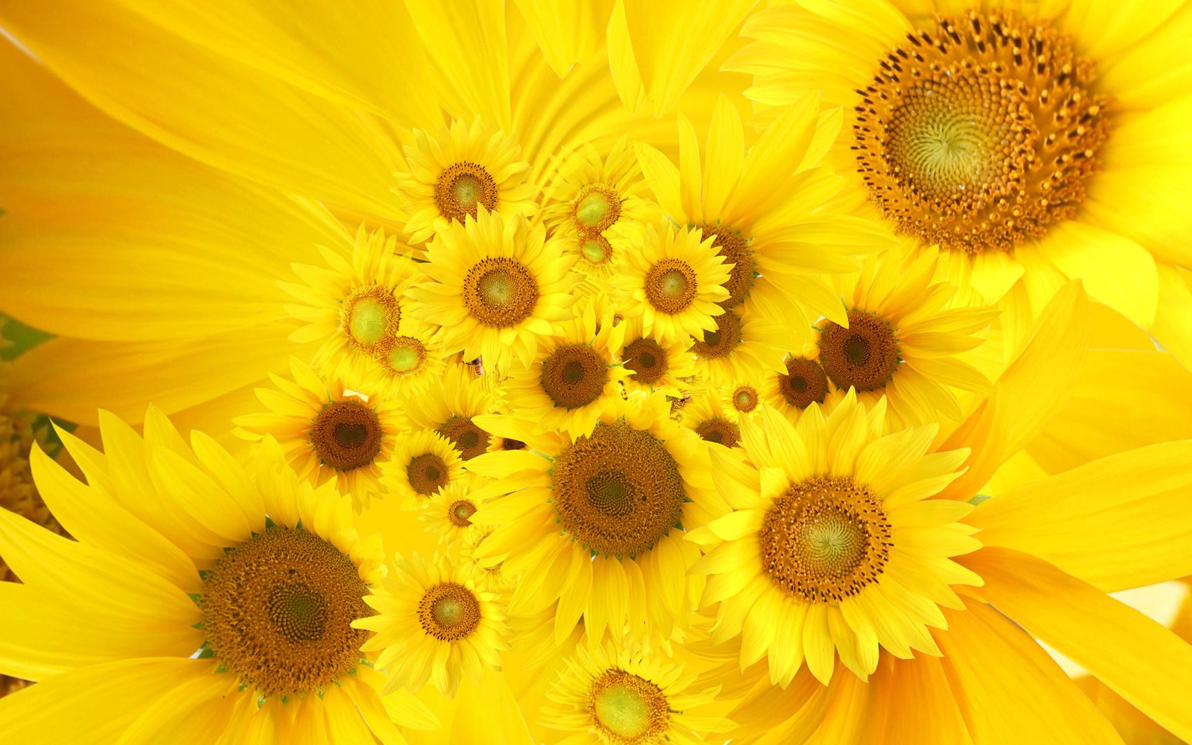 Sunflowers HD 1080p Wallpapers Download Hd 1080p