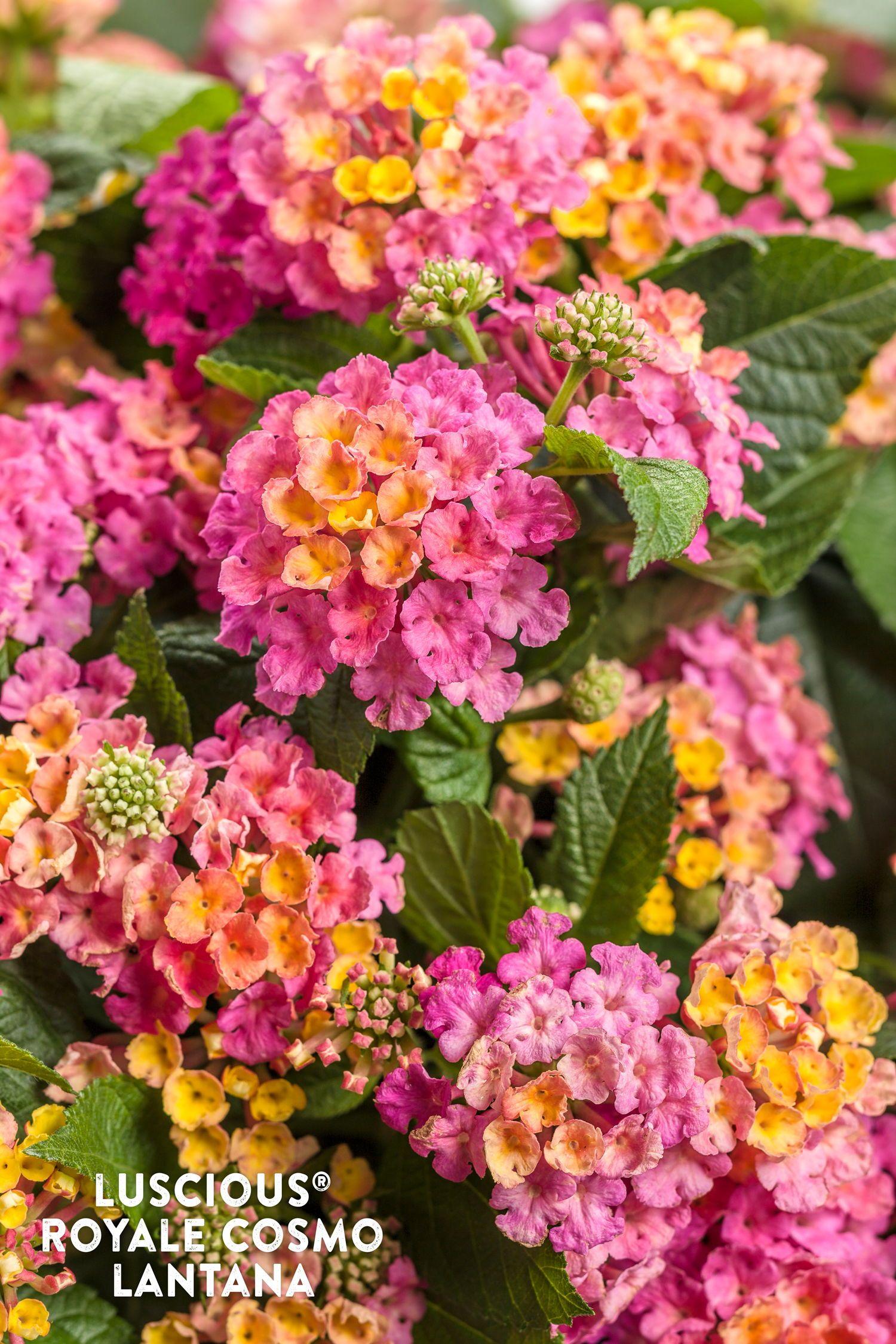 Brilliant Blooms For The Pollinator Friendly Garden Lantana Annual Plants Lantana Camara