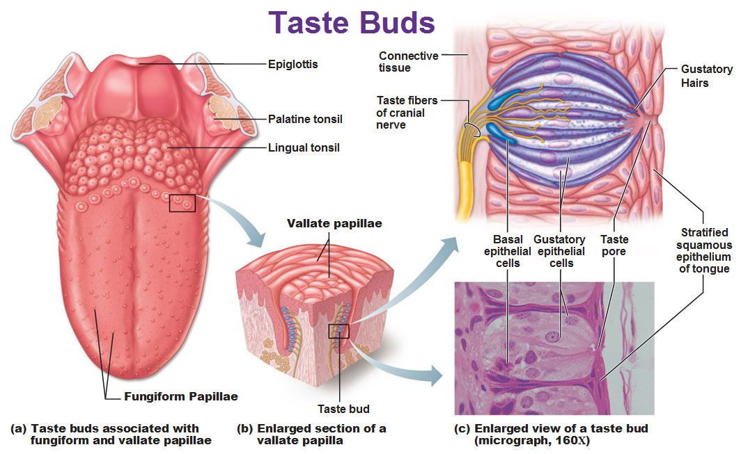 taste bud - Google Search | Anatomy and Physiology 1 - PTA ...