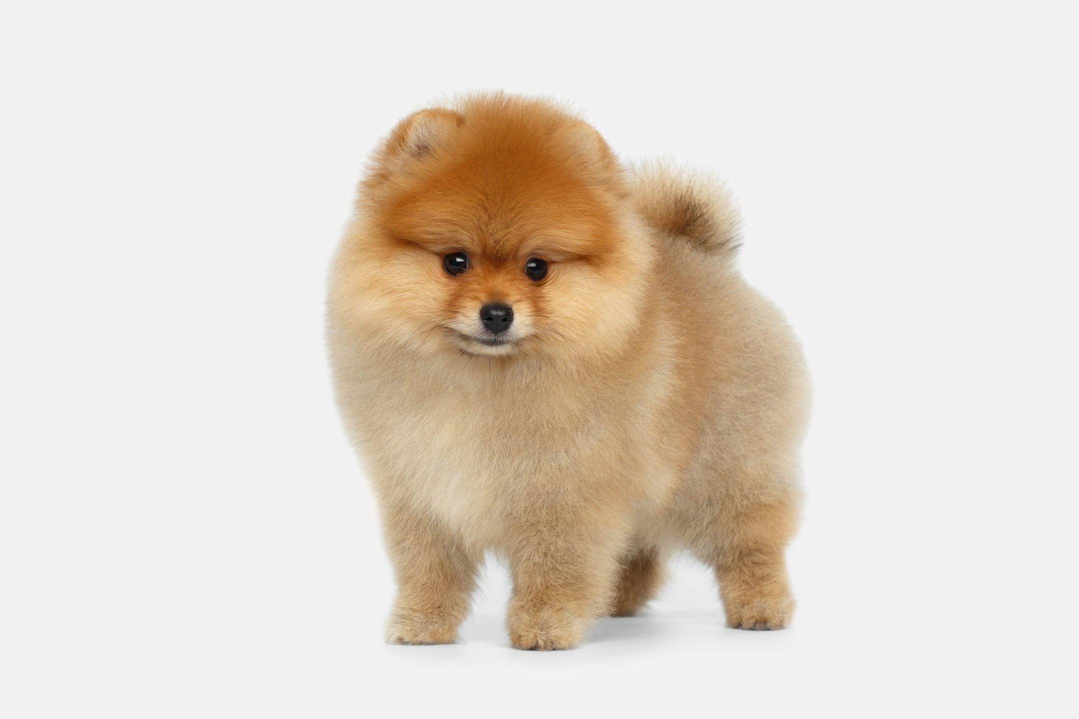 Little fluffy puppy Spitz puppy, Fluffy puppies, Dog breeds