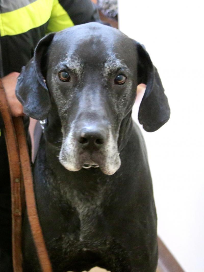 Petfinder Adoptable Dog Great Dane Three Rivers Mi Hercules Dog Adoption Great Dane Dogs Dane Dog