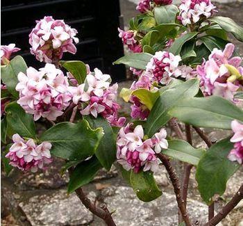 Daphne odora 1 5 x 1 5 m floraison mars petit arbuste persistant la floraison hivernale et for Arbuste persistant ombre le havre