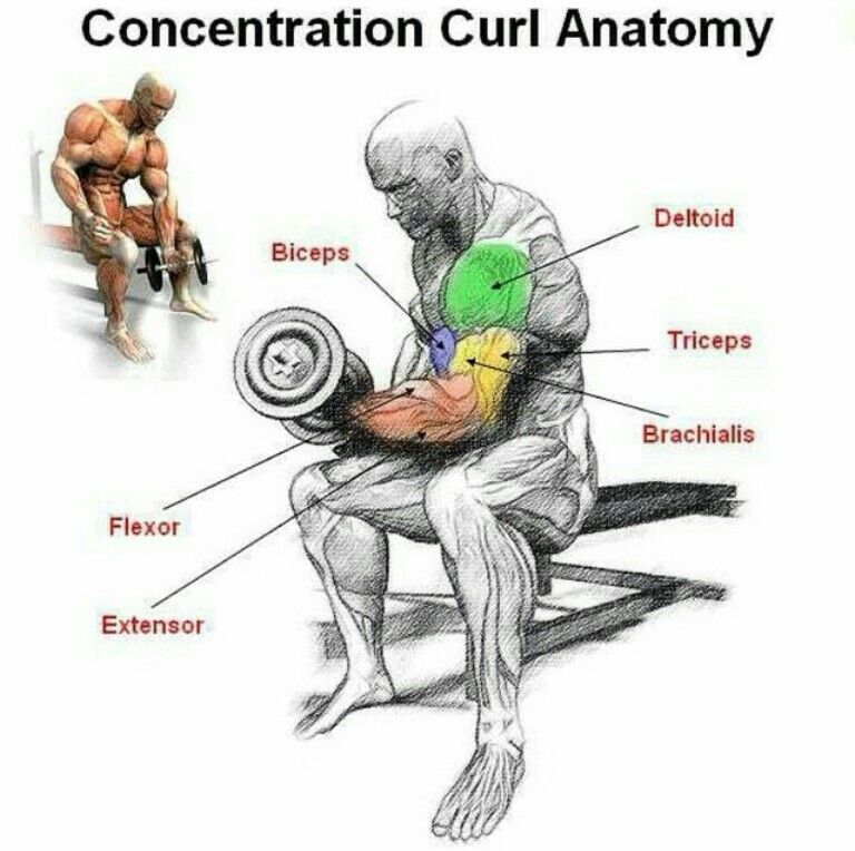 Concentration Curl Anatomy Workouts Pinterest Fitness Workout