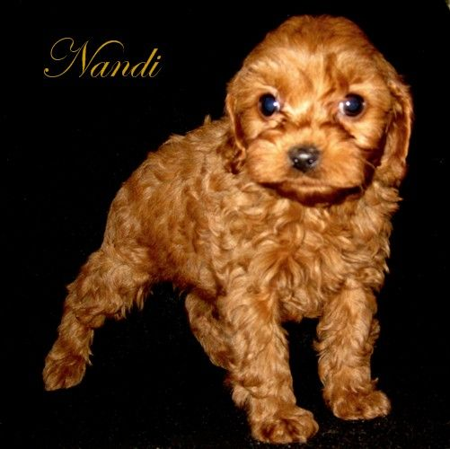 This is Nandi. He's a Cavapoo poo! One in a million
