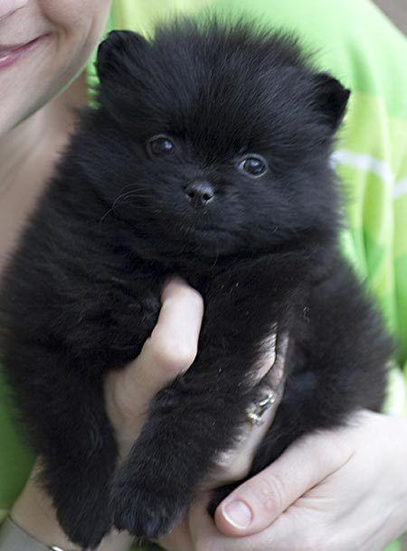 India The Pomeranian Black Pomeranian Pomeranian Dog Dogs