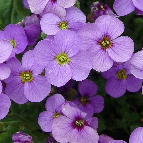 Lil Purple Flowers Purple Purple Pinterest Purple Flowers