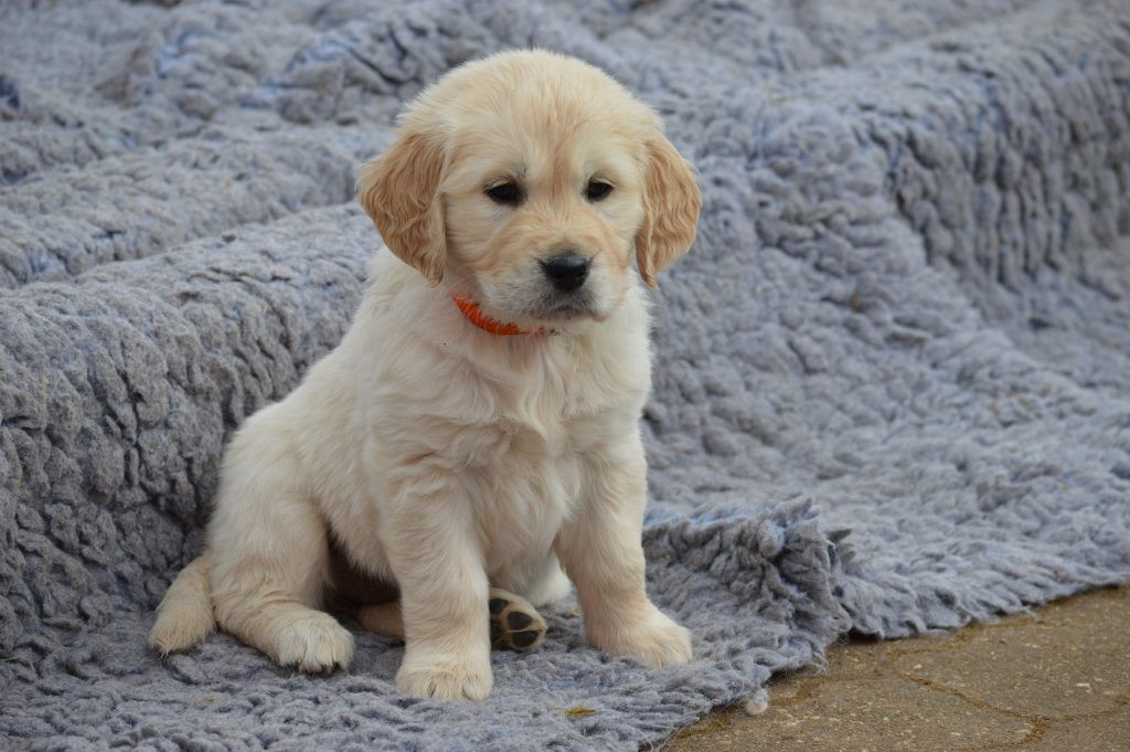 These Golden Retriever Puppies Are Ready To Make Your Day Dogs