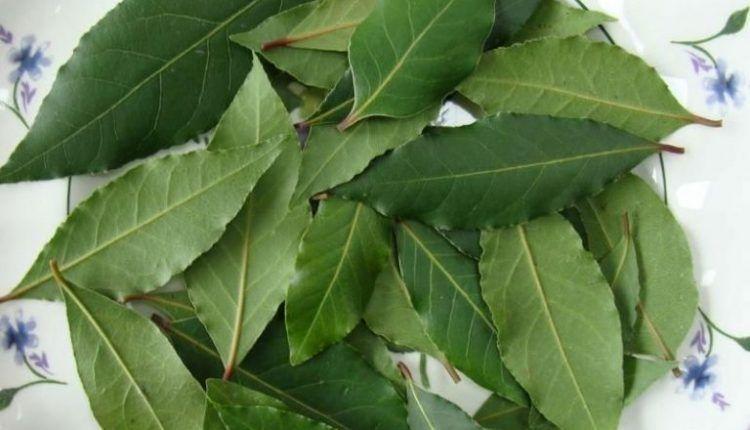 Frunzele de varză tratează varicele
